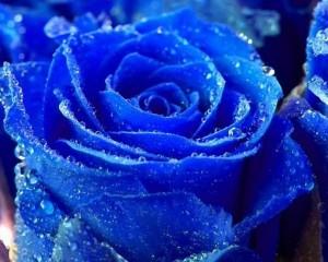 blueroze